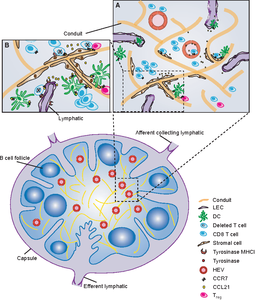 Lymphatics At The Interface Of Immunity Tolerance And Tumor