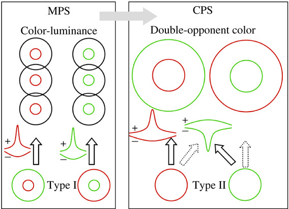 Chromatic aberration and the roles of double opponent and color figure 1 ccuart Images
