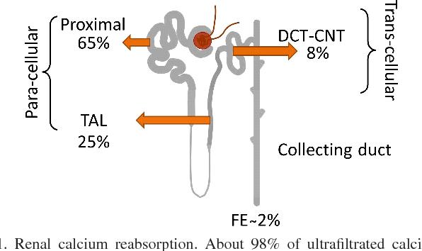 Proximal tubule (PT) calcium (Ca 2+ ) reabsorption. (A