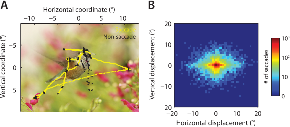 Figure 6.1: (A) An example stimulus image that was presented to our subjects. Gaze position (tracked at 1.2 kHz) for one subject is superimposed; segments classi ed as saccadic are plotted in yellow, while non-saccadic segments ( xation and possibly noisy data) are plotted in black. (B) e distribution of observed saccades, as a function of horizontal and vertical displacement. Note the logarithmic color scale.
