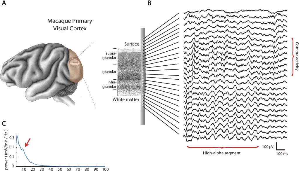 Figure 3.1: Overview of the type of data we acquired (A) Continuous electrophysiological activity was simultaneously recorded from all layers of primary visual cortex using a 24- contact laminar probe in two monkeys. (B) Example of the recorded voltage traces. e