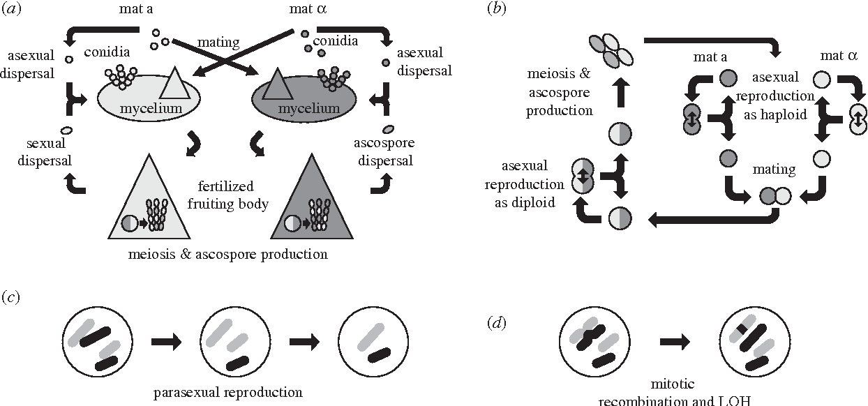 Life cycle of fungi asexual and sexual reproduction