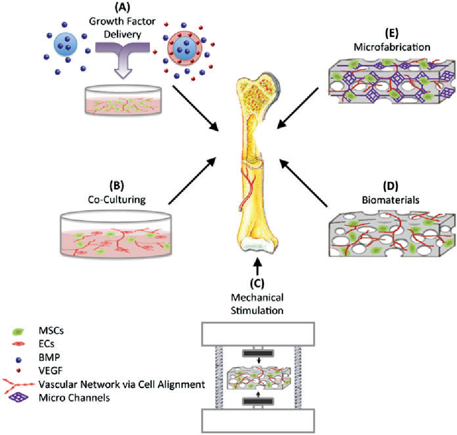 Figure 2 from Vascularized bone tissue engineering: approaches for