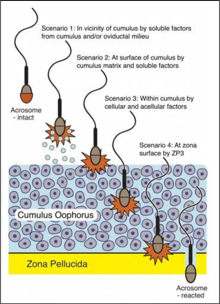 Acrosome human sperm nice