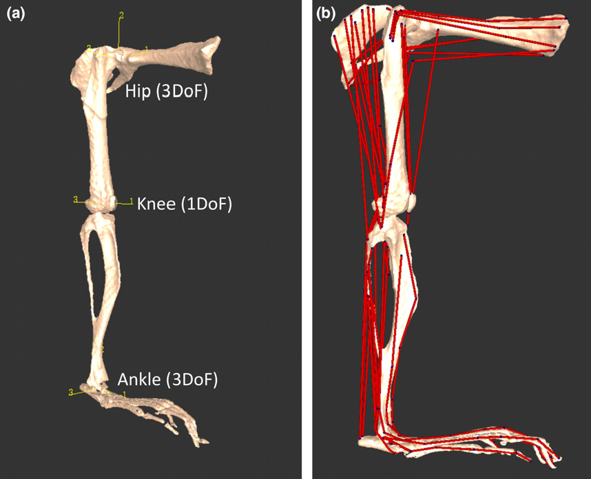Unique Mouse Hindlimb Muscle Anatomy Sketch - Anatomy And Physiology ...