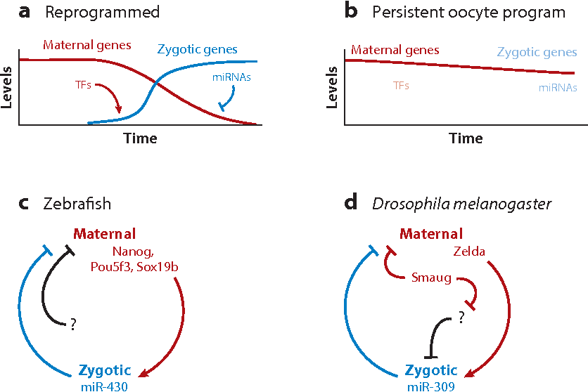 Figure 6 from Zygotic genome activation during the maternal-to