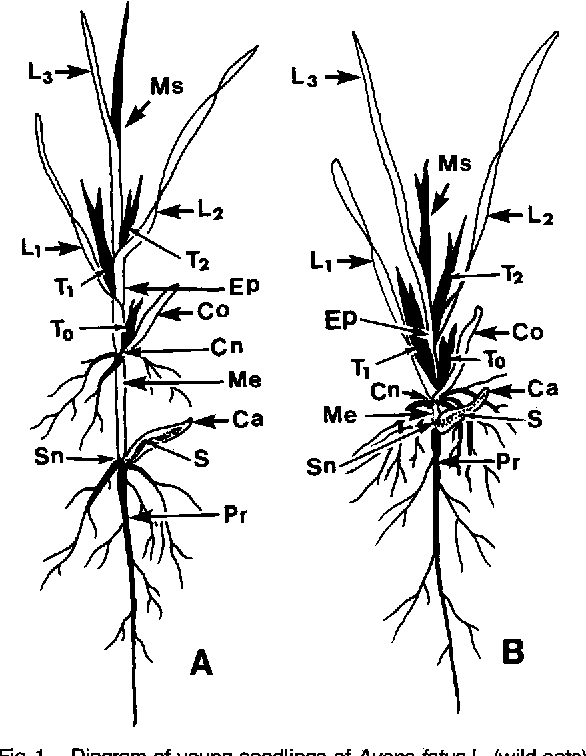 diagram of young seedlings of avena fatua l (wild oats)