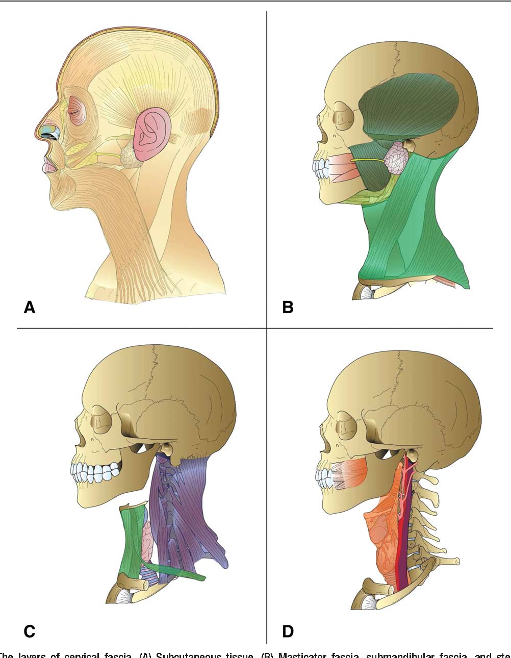 Head and neck fascia and compartments: no space for spaces ...