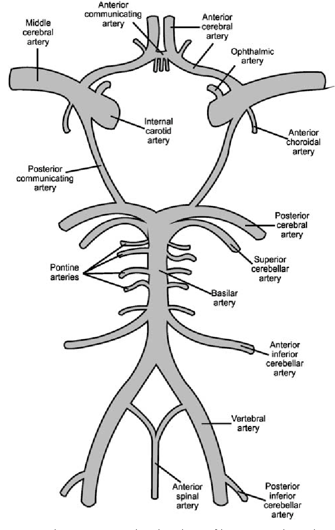 Figure 1 From Function Of Circle Of Willis Semantic Scholar