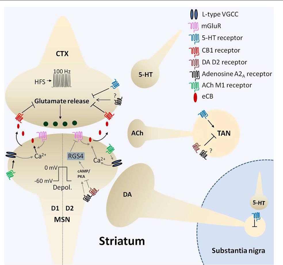 PDF] Endocannabinoid–Dopamine Interactions in Striatal