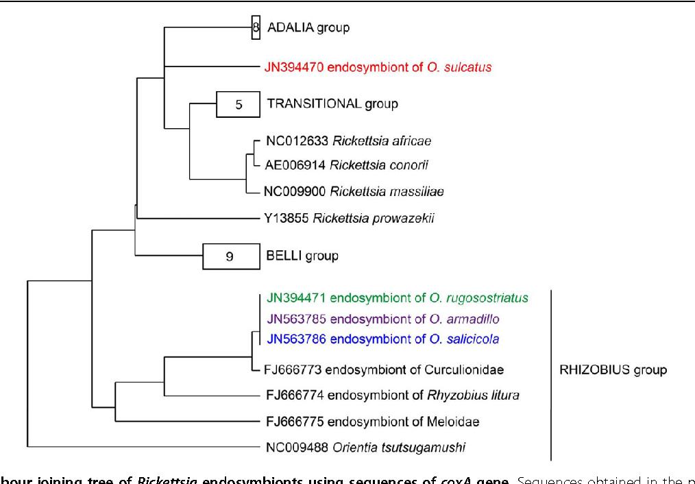 assessment of bacterial endosymbiont diversity in otiorhynchus spp