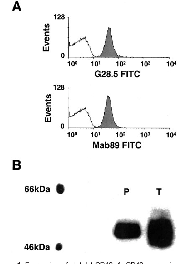 Figure 1. Expression of platelet CD40. A, CD40 expression on unstimulated human platelets was demonstrated by flow cytometry after staining with anti-CD40 antibodies G28.5 and Mab89. Unshaded area is isotype-matched control antibody binding. Representative plots (n 5) are shown. B, Western blots of lysates from platelets (P) and interferon- stimulated THP-1 cells (T) detected with Mab89. 48-kDa CD40 protein is clearly visible. Representative blot (n 2) is shown.