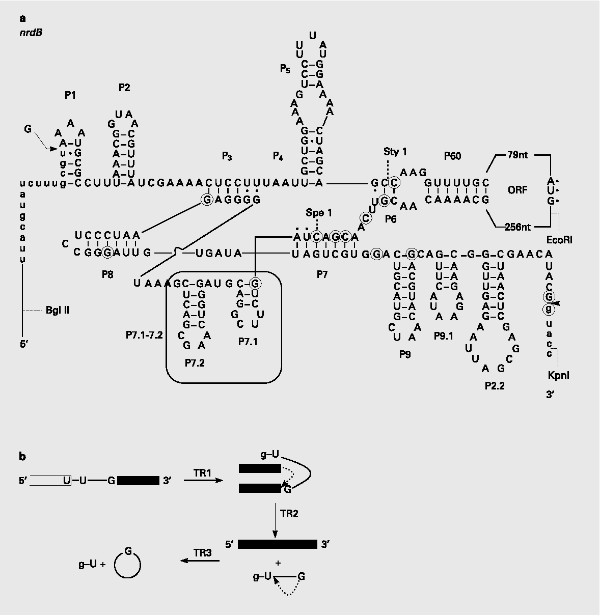 Figure 2 From Ribozymes A Modern Tool In Medicine Semantic Scholar T4 1 Block Diagram Secondary Structures Of Bacteriophage Group I Nrdb Intron The