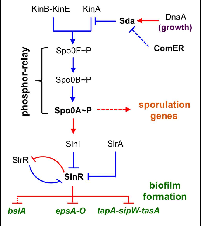 FIGURE 1   A schematic presentation of the regulatory circuit for the control of alternative cell fates in B. subtilis. Spo0A is positioned at the center of the regulatory circuit, controlling genes involved in both sporulation and biofilm formation. Spo0A is activated by protein phosphorylation (Spo0A∼P), often through a phosphor-relay (initiated from multiple Kin kinases and mediated by Spo0F and Spo0B). Sda is a checkpoint protein that blocks the phosphor-relay from KinA to Spo0F and thus Spo0A activation during cell exponential growth. sda is activated by DnaA during exponential growth. SinR is the biofilm master repressor for the matrix genes tapA-sipW-tasA, espA-O, and bslA. SinR is counteracted by two parallel anti-repressors (SinI and SlrA) during biofilm induction (Kearns et al., 2005; Kobayashi, 2008; Chai et al., 2009). SlrR is another counteracting protein of SinR and shares strong amino acid sequence similarity with SinR (Chu et al., 2008). These two proteins constitute a self-reinforcing double-negative loop for the mutually exclusive control of matrix genes and free-living genes (Chu et al., 2008). Red, gene regulation; blue, protein–protein interaction.