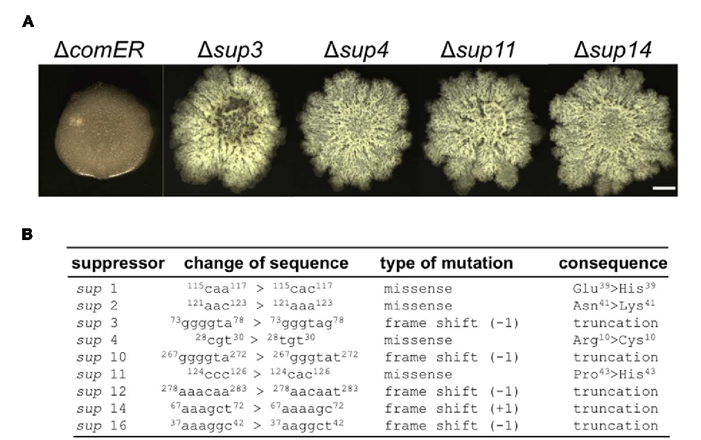 FIGURE 4 | Suppressor mutations in sinR rescued the biofilm defect caused by comER. (A) The colony biofilm phenotype of the selected suppressor mutants of 1comER (sup3, sup4, sup11, and sup14) in LBGM. The scale bar represents 5 mm in length. (B) A description of the characterized suppressor mutations in the nine suppressor mutants. All the putative suppressor mutations were mapped to the coding region of the sinR gene; Some are missense mutations while others are frame-shift mutations resulting in truncated SinR proteins.