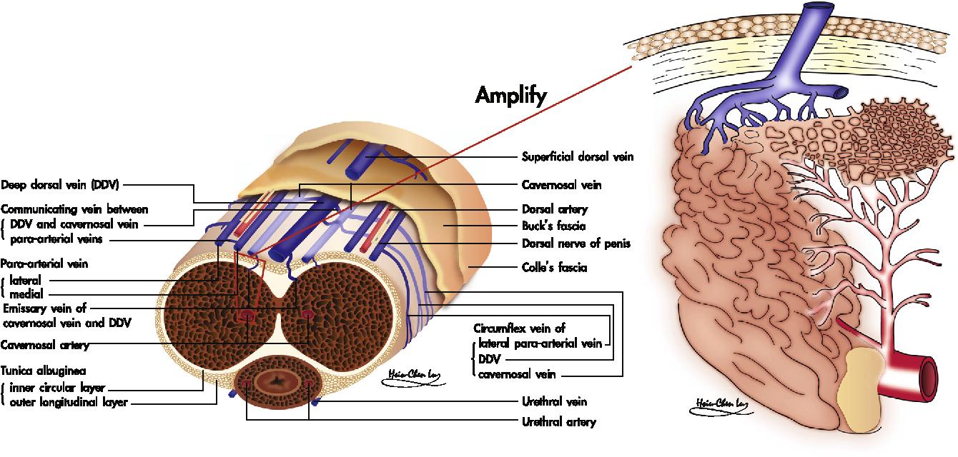 Colorful Penile Vascular Anatomy Composition - Anatomy Ideas ...