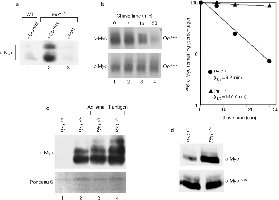 Figure 5 Accumulation of c-Myc is regulated by Pin1. (a) c-Myc levels are elevated in Pin1−/− cells. Passage-3 primary MEFs from siblings with either wild-type (WT) or Pin1−/− genotypes were made quiescent by serum starvation for 48 h and then infected with Ad-c-Myc (MOI = 100) together with either Ad-GFP (control) or Ad-Pin1 (both at MOI = 400). Infected cells were maintained in medium with 0.25% serum for 20 h and extracts prepared from an equal number of cells for each condition were subjected to western blot analysis with the C-33 c-Myc antibody. (b) c-Myc half-life is increased in the absence of Pin1. Quiescent primary Pin1+/+ or Pin1−/−MEFs were infected with Ad-c-Myc (MOI = 100) and maintained in low-serum medium. At 18 h after infection, cells were labelled with 35S-methionine/cysteine for 30 min and chased in medium with 0.20% serum containing excess unlabelled