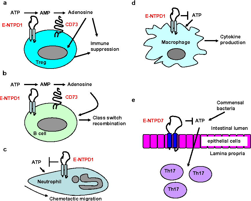Regulation of allergic inflammation by the ectoenzyme e npp3 cd203c figure 3 ccuart Choice Image