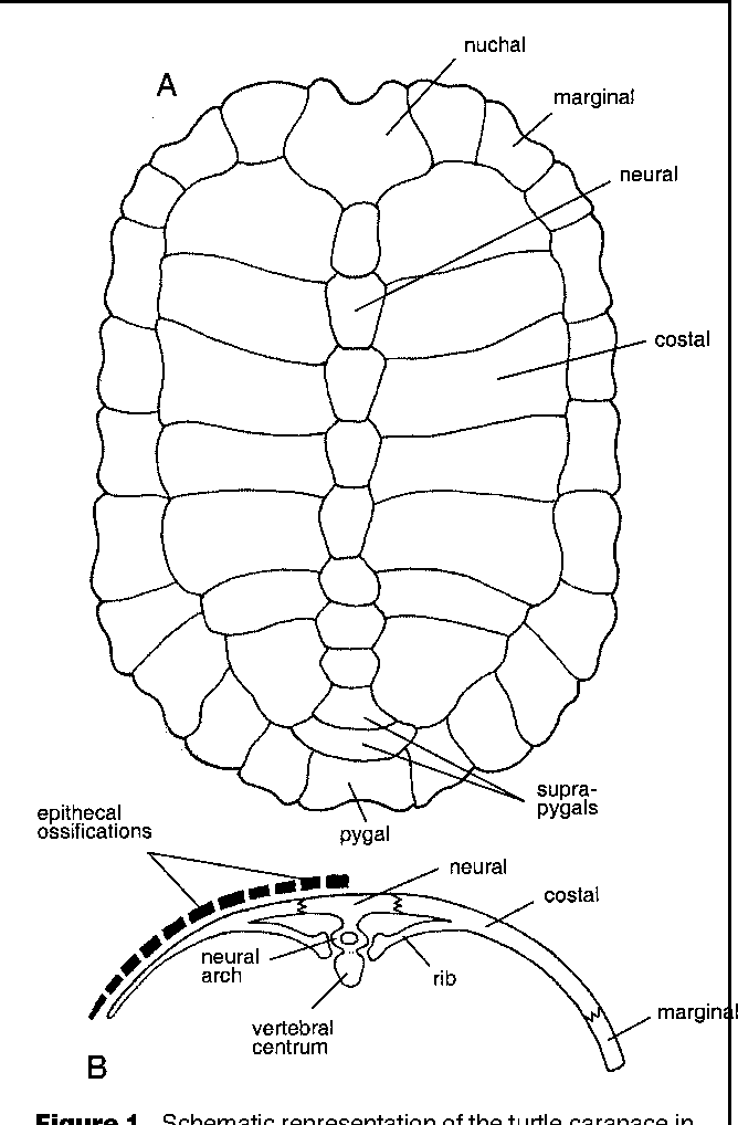 Figure 1 from Turtles as hopeful monsters. - Semantic Scholar