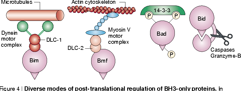 Figure 4 | Diverse modes of post-translational regulation of BH3-only proteins. In healthy cells, BH3-only proteins are held in check by a variety of strategies. Bim and Bmf are sequestered to the microtubules or actin cytoskeleton, respectively, via interaction with a dynein light chain (DLC)44,45. Phosphorylated Bad is bound by 14-3-3 scaffold proteins46. Bid is synthesized as a precursor, which requires proteolytic cleavage to be fully active47,48. The 'beak' in each represents the BH3 domain.