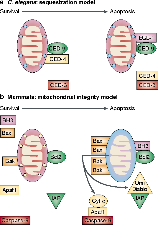 Figure 5 | Two models for Bcl2 survival activity. a | Caenorhabditis elegans: sequestration of a caspase activator. The Bcl2 homologue CED-9 binds the adaptor protein CED-4 and prevents it from activating the CED-3 caspase until the BH3-only protein EGL-1 binds to CED-9 and displaces CED-4. b | Mammals: protection of mitochondrial integrity (see text). Bcl2 and its anti-apoptotic homologues guard mitochondrial membrane integrity until neutralized by a BH3-only protein. Bax and Bak then form homo-oligomers within the mitochondrial membrane, resulting in the release of cytochrome c, which activates Apaf1, allowing it to bind to and activate caspase-9. Other pro-apoptotic molecules that exit the mitochondria include Omi and Diablo, which antagonize inhibitor of apoptosis proteins (IAPs). Protein complexes are shown as juxtaposed boxes or triangles. Apaf1, apoptotic protease-activating factor 1; cyt c, cytochrome c.