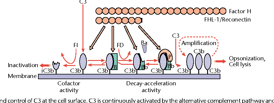 alternative pathway of complement activation ppt