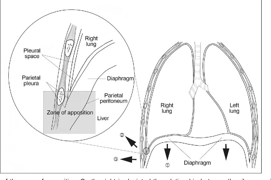 diaphragm function - Semantic Scholar