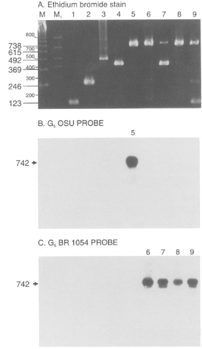 Fig. 2. Characterization of rotavirus G5 genotype-specific RTPCR products with digoxigeninlabeled oligonucleotide probes. A Ethidium bromide stained agarose gel showing RT-PCR products: M 123 bp ladder molecular weight marker (GIBCO-BRL Laboratories Gaithersburg, MD); M~ Molecular weight marker type XI, digoxigenin-labeled (Boehringer Mannheim Biochemicals, Indianapolis, IN); I--4 Brazilian strains of genotypes G1 to G4, respectively; 5 prototype strain G5 OSU; 6-9 Brazilian strains of genotype G5.7 and 9 show mixed infections of genotypes G4 + 5 and GI + 5, respectively. B and C show the results of Southern hybridization and chemiluminescent detection with G50SU and G5 BR1054 probes, respectively