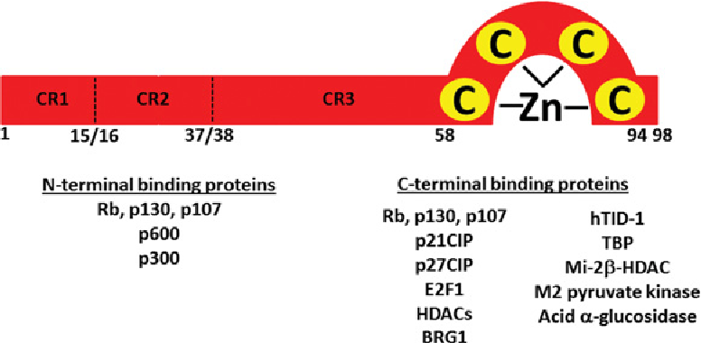 Figure 7 Representation Of HPV 16 E7 Structure And Binding Partners