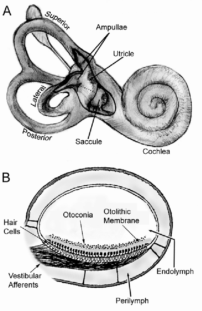 Transduction And Adaptation In Sensory Hair Cells Of The Mammalian