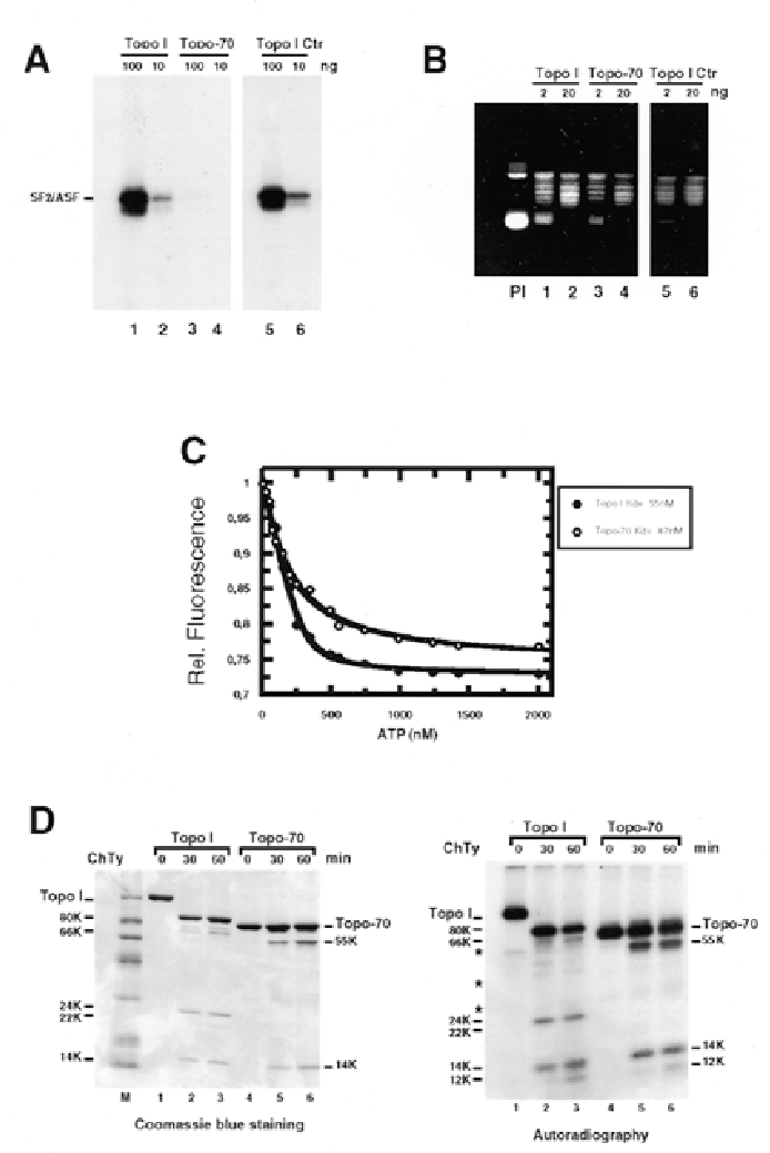 Figure 7. Recombinant Topo-70 has relaxing but not kinase activity. (A) Protein kinase assays were performed as described in Materials and Methods with 100 ng (lane 1) or 10 ng (lane 2) of wild type Topo I; 100 ng (lane 3), or 10 ng (lane 4) of purified Topo-70 from insect cells (35). Since Topo-70 was obtained from Dr Champoux's laboratory, we also performed kinase assays with 100 ng (lane 5) or 10 ng (lane 6) of wild type Topo I purified by the same laboratory. (B) DNA topoisomerase assays were as described in Materials and Methods with 2 ng (lane 1) or 20 ng (lane 2) of wild type Topo I; 2 ng (lane 3) or 20 ng (lane 4) of Topo-70; 2 ng (lane 5) or 20 ng (lane 6) of wild type Topo I from Dr Champoux's laboratory. (Pl) Supercoiled DNA incubated under the relaxation assay conditions in the presence of buffer only. (C) Determination of the Kd of ATP binding to Topo-70 (open circle) using the intrinsic fluorescence quenching of the protein and comparison with wild type Topo I (closed circles). (D) Wild type and Topo-70 were digested with chymotrypsin. Proteolytic fragments were analyzed on 10–16% SDS–polyacrylamide gel and revealed by Coomassie blue staining (left panel). Similar analysis was performed with wild type and Topo-70 cross-linked to [α32P]8N3-ATP following irradiation with UV light (Rossi et al., accompanying paper) and proteolytic fragments were detected by autoradiography (right panel). The incubation times are indicated on the top and the relative size of proteolytic fragments are indicated on the left of each panel. (*) correspond to proteolytic fragments resulting from exposure of recombinant proteins to UV light.