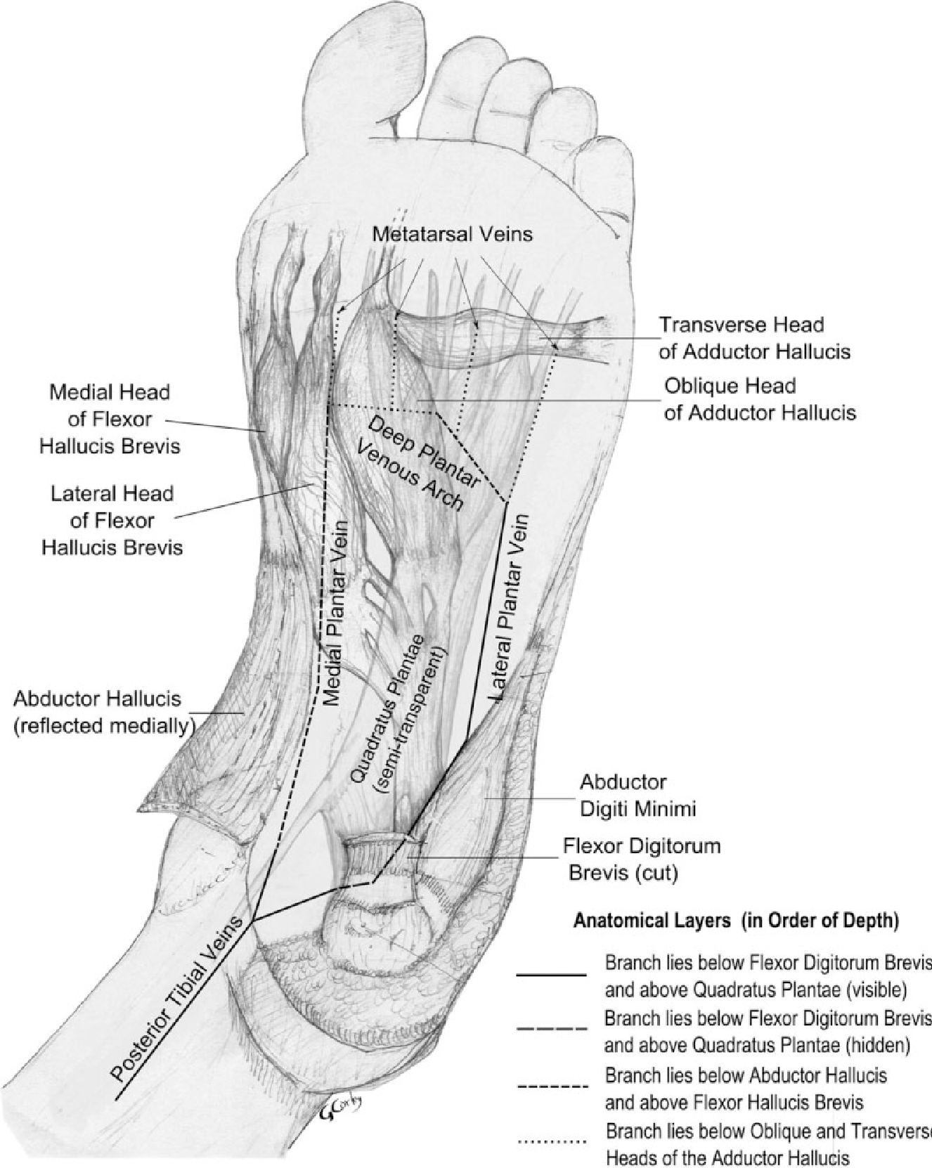 Figure 2 from The anatomy and physiology of the venous foot pump ...
