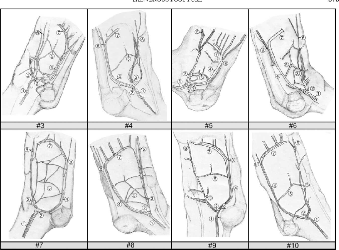 Figure 4 from The anatomy and physiology of the venous foot pump ...