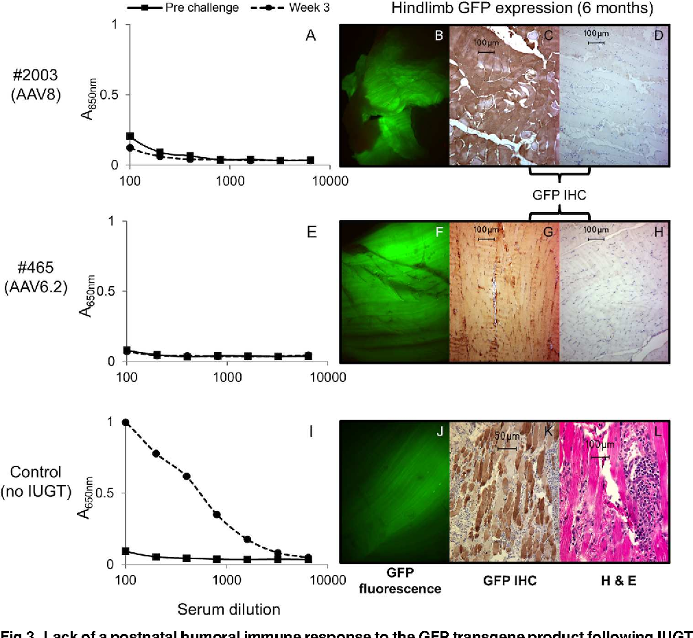 Fig 3. Lack of a postnatal humoral immune response to the GFP transgene product following IUGT.