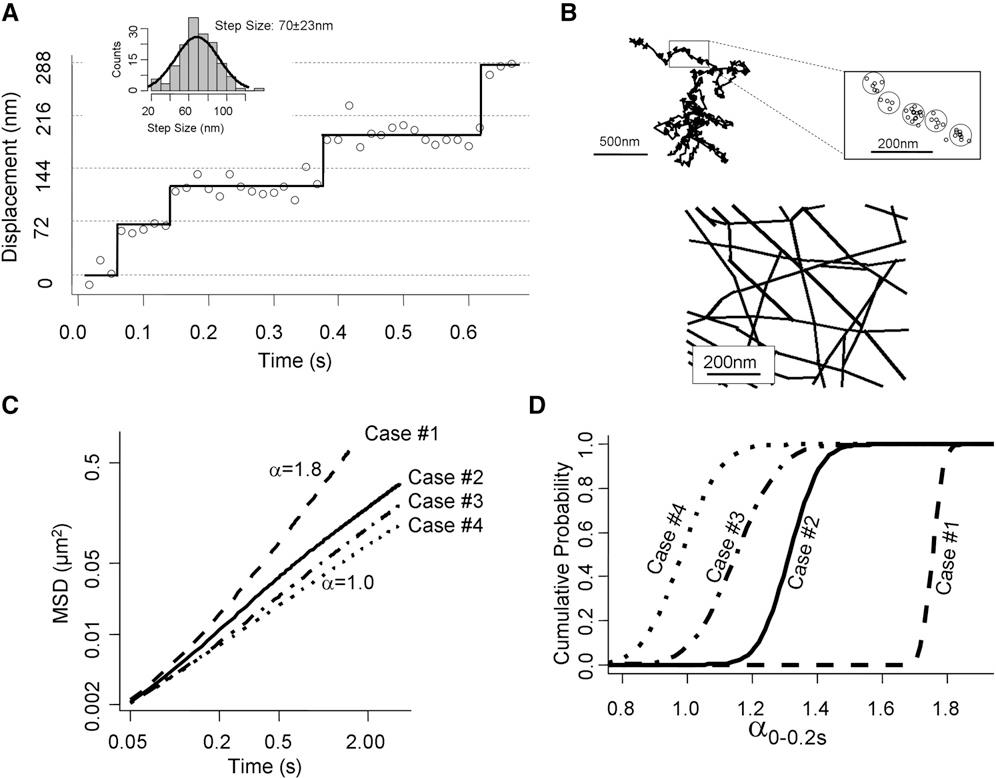 Random Walk Of Processive Quantum Dot Labeled Myosin Va Molecules