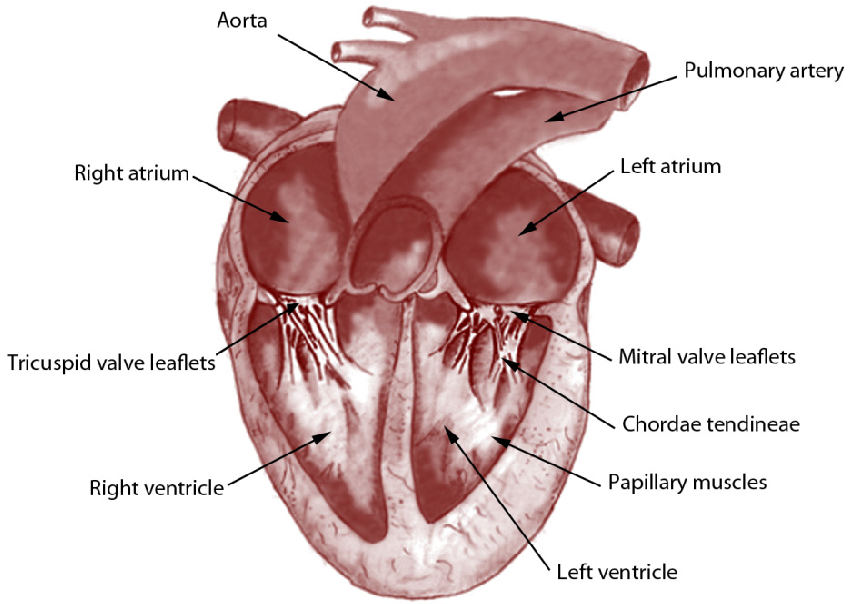 The Left Ventricle in Dogs with Myxomatous Mitral Valve Disease ...
