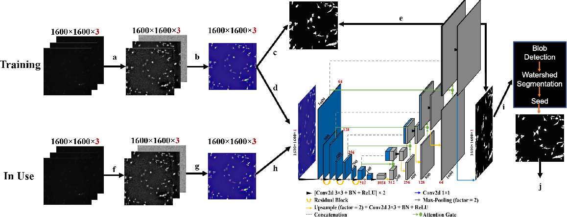 Figure 1 for Segmentation with Residual Attention U-Net and an Edge-Enhancement Approach Preserves Cell Shape Features
