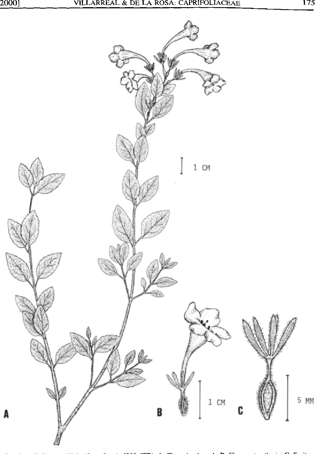Figure 2 From Two New Species Of Abelia Caprifoliaceae From Mexico