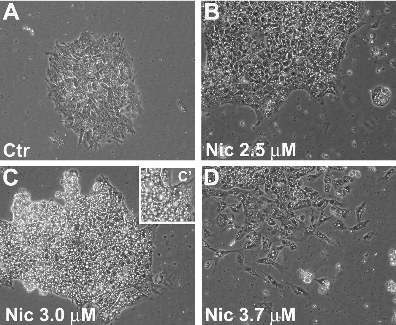 Fig. 3. Nicotine exposure induced rapid formation of numerous vacuoles in the hESC cytosol. H7 cells were cultured on Matrigel-coated wells in control medium (A) or m ter pl w nicoti w ted (D t was r