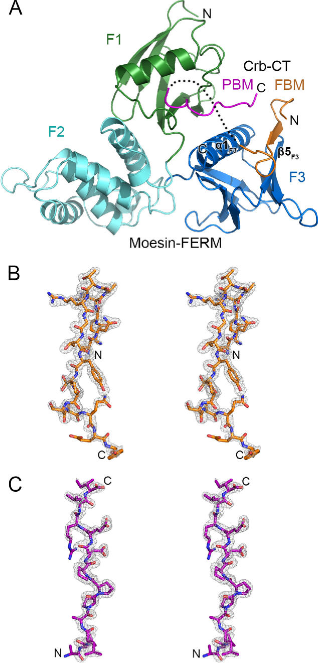 Structural basis for the phosphorylation-regulated