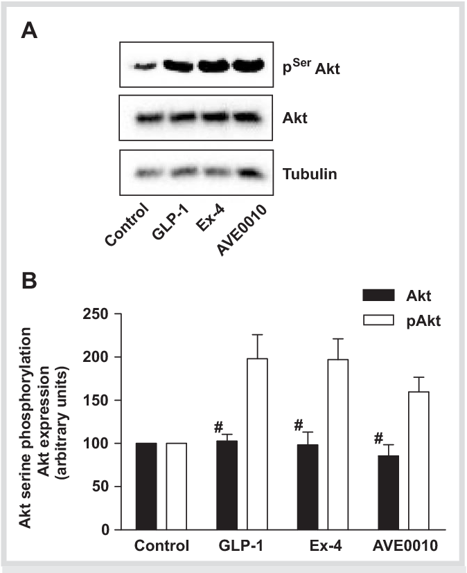 Fig. 6 Long term activation of Akt by GLP-1 receptor agonists. A: INS-1 cells were stimulated with 10 nmol / l GLP-1 or its receptor agonists for 24 hours. Lysates (8 g per lane) were separated by SDS-PAGE and processed for immunoblotting with antibodies against phospho-Akt Ser or -tubulin. Representative blots are shown. B: Blots were quantifi ed as outlined in Fig. 1 and were normalized to tubulin expression levels. Data are presented as means ± SEM from four individual experiments. # not signifi cantly different from control.