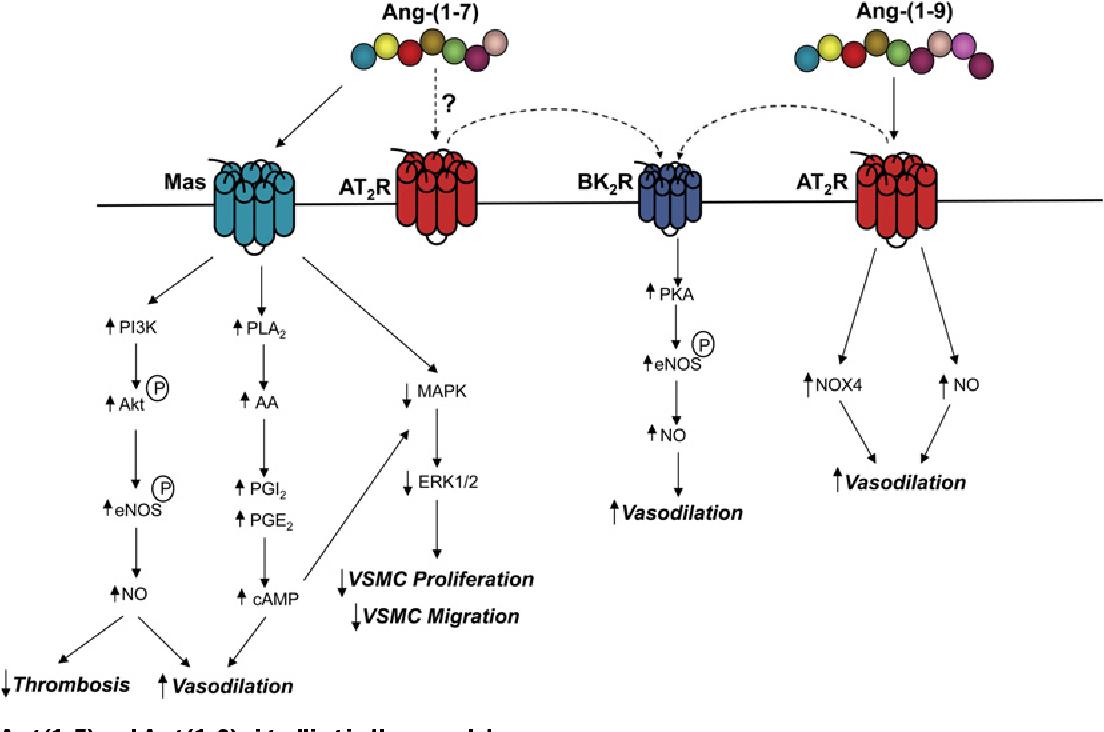 Angiotensin-(1-7) inhibits tumor angiogenesis in human