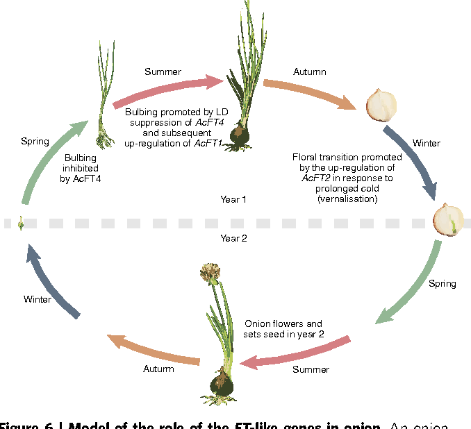 Flowering locus t genes control onion bulb formation and flowering figure 6 ccuart Images
