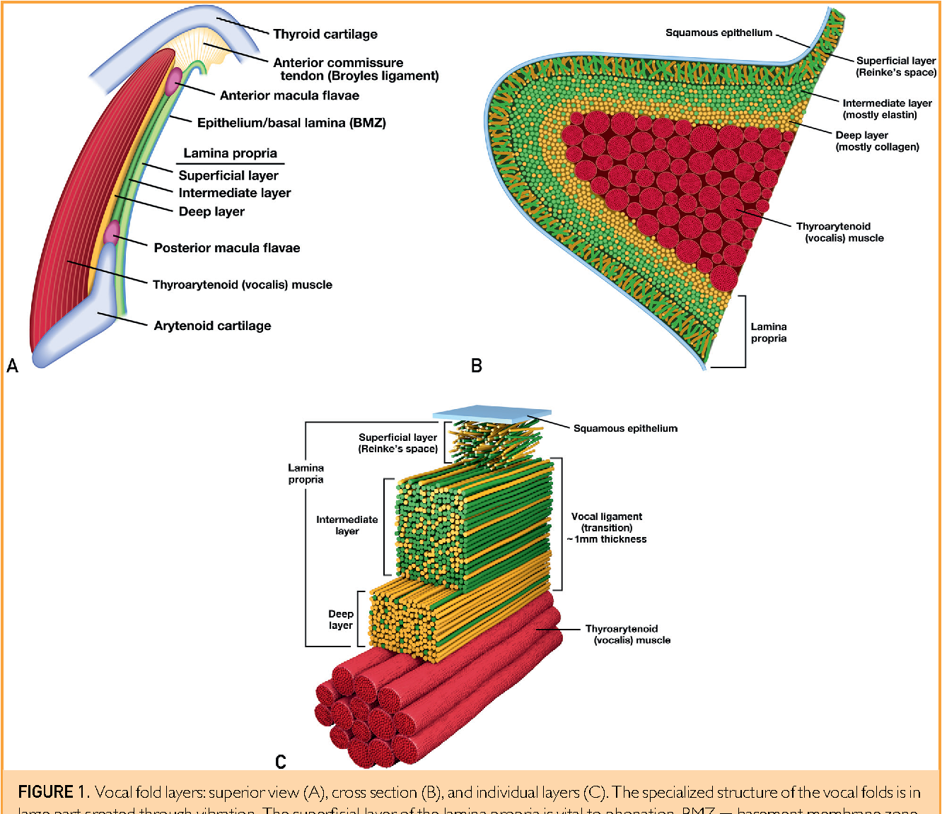 Tissue engineering for otorhinolaryngology head and neck surgery figure 1 ccuart Images