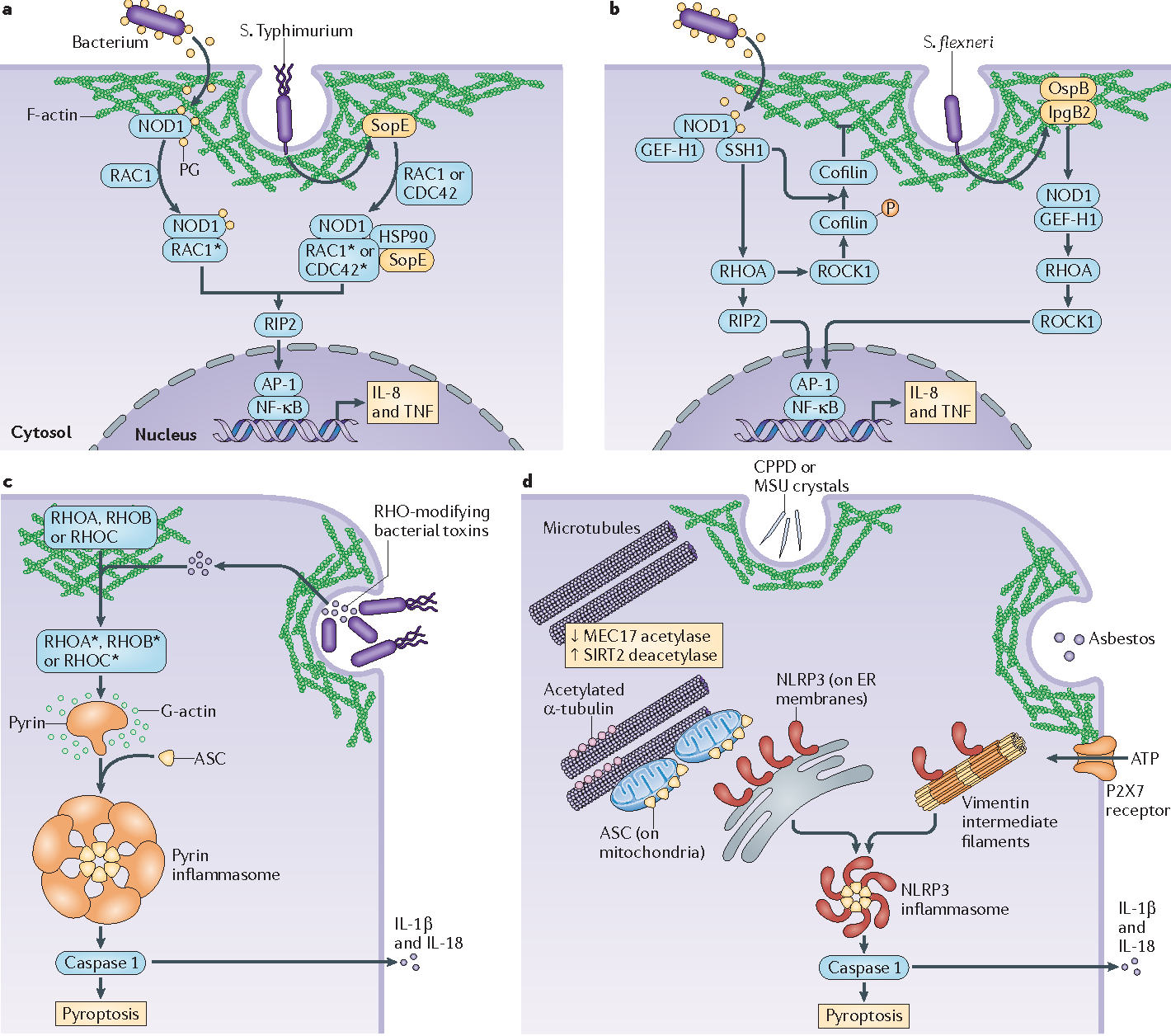 The cytoskeleton in cell autonomous immunity structural figure 2 ccuart Images