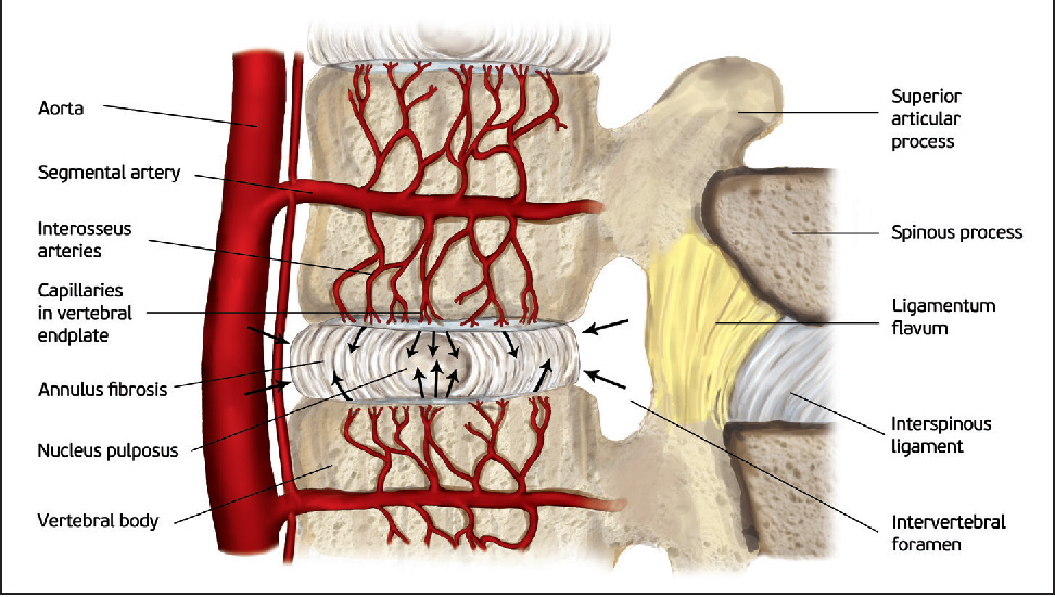 The Biology Behind The Human Intervertebral Disc And Its Endplates