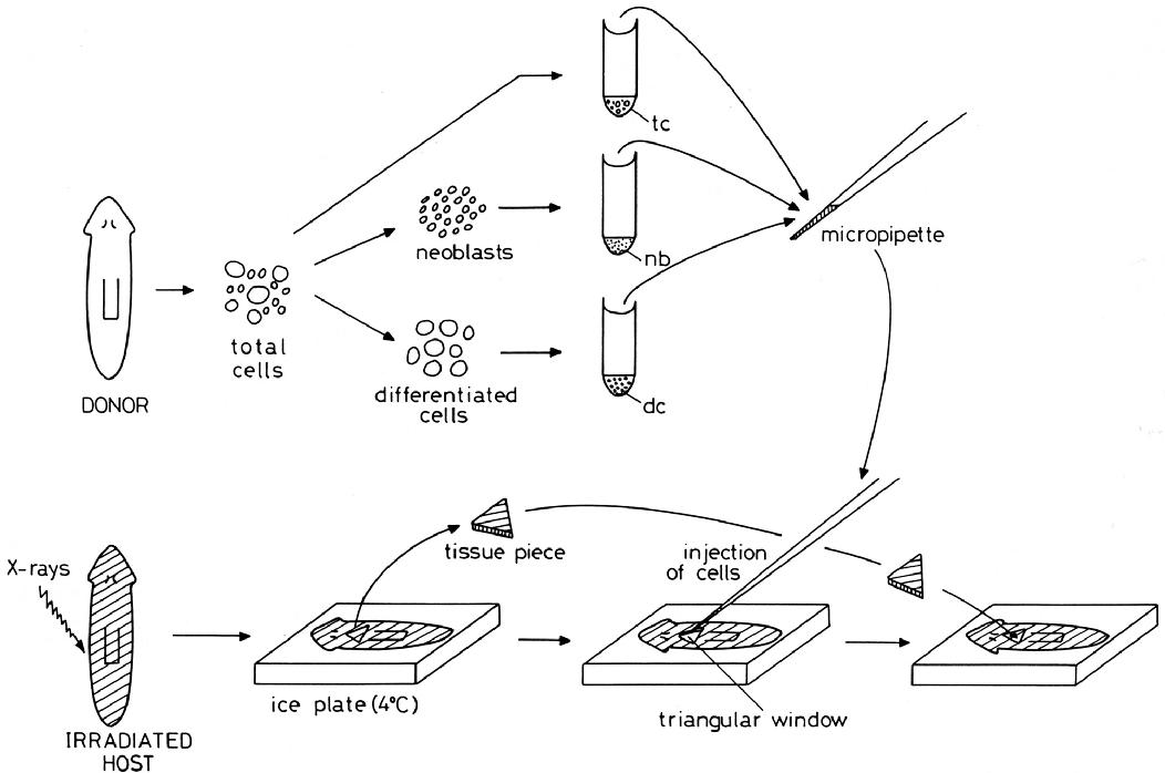 Brown Planaria Diagram Wiring