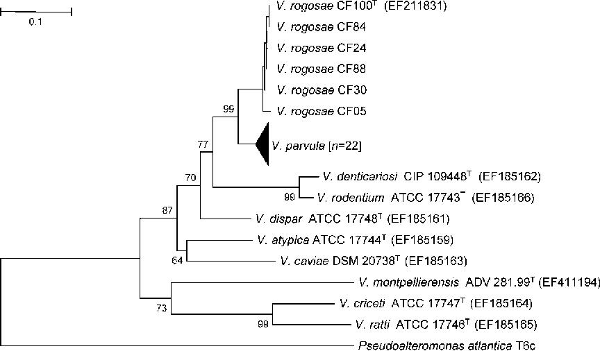 Cocci bacteria semantic scholar figure 2 ccuart Image collections