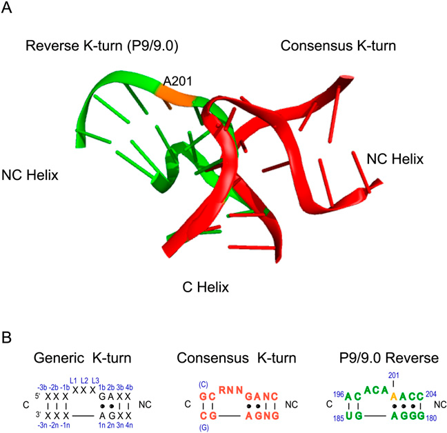 Figure 1 From Plasticity Of The Rna Kink Turn Structural Motif