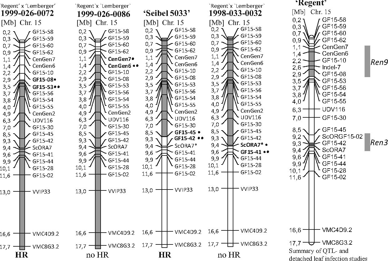 Fig. 9 Summary of results from observation of hypersensitive reaction (HR) in recombinants and QTL analyses. The physical map of chromosome15 is shown with recombination break points, the occurrence of HR and the positions of QTL. Genetic markers are shown at their position predicted according to the reference genome PN40024 (129). Ren3 and Ren9 are indicated in grey on the chromosome and by grey bars on the right